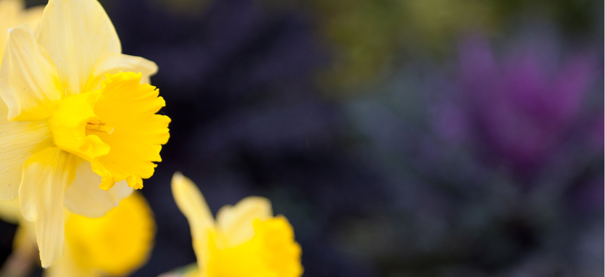 daffodils-hd-1200x550